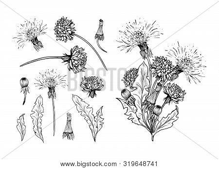 Flowering Dandelion Freehand Vector Illustrations Set. Spring Honey Plant, Hand Drawn Wildflower Twi