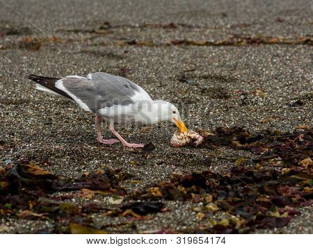 A  Pacific Gull Eating A Crab On A Sandy Shore Surrounded By Kelp At The Goat Rock Beach, Sonoma, Si