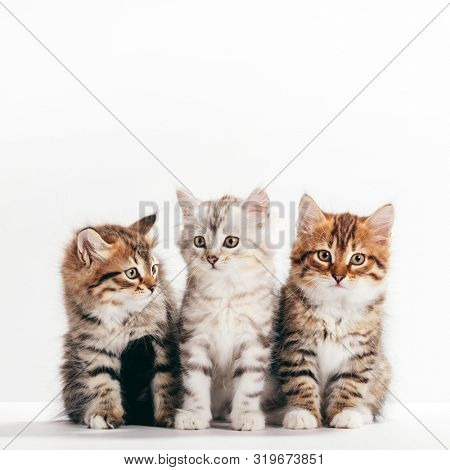 Siberian cats, portrait of three cute kittens from same litter on white background. Purebred
