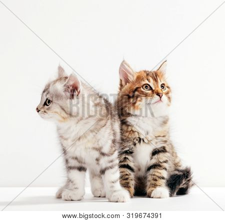 Two cats pose as if they were estranged or angry at each other. Siberian kittens breed