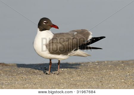 A Laughing Gull in breeding plumage on a sandbar with a blue water background poster
