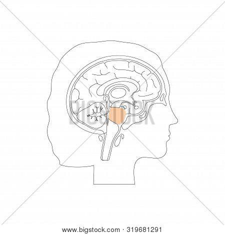 Vector Isolated Illustration Of Pons Hindbrain, Part Of Brain Stem In Woman Head. Human Brain Anatom