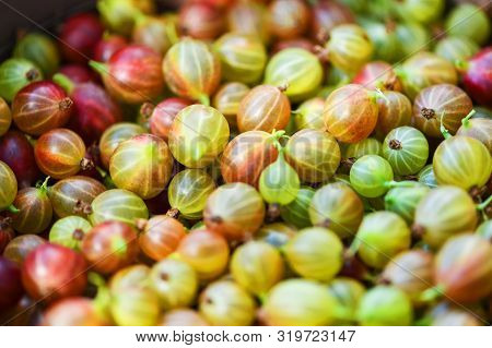 Gooseberry. Gooseberries Closeup.  Lots Of Ripe Red And Green Gooseberries. Harvest. Macro Photograp
