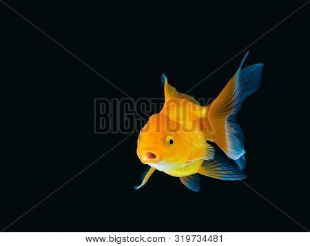 Goldfish On Black Background,goldfish Swimming On Black Background ,gold Fish,decorative Aquarium Fi