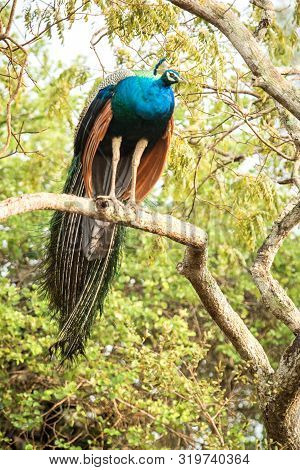 Male Indian Peafowl (pavo Cristatus) Perched On A Big Tree Branch, Yala National Park, Sri Lanka, Be