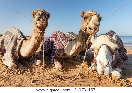 Cute Camels Resting At The Beach In Ras Al Khaimah, Uae