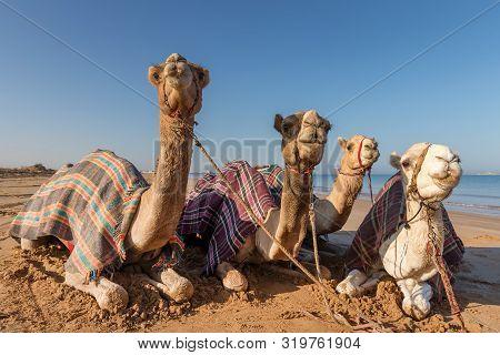 Four Camels Resting At The Beach In Ras Al Khaimah, Uae