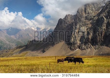 Black Yaks Graze High In The Mountains. Traditional Tibetan Livestock. Yaks Graze In An Alpine Valle