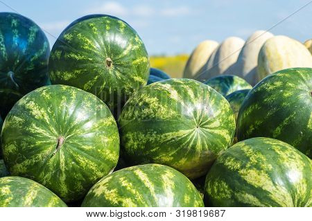 Rows Of Green Striped Watermelons With Oval Melons Against A Yellow Field And Blue Sky. Background