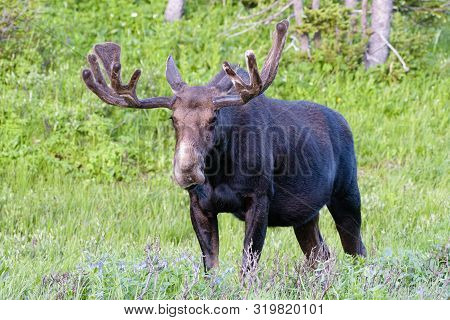 Colorado Rocky Mountains - Shiras Moose In The Wild