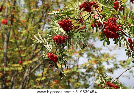 Branches Of European Mountain Ash Rowan Tree With Ripe Berries, Sorbus Aucuparia