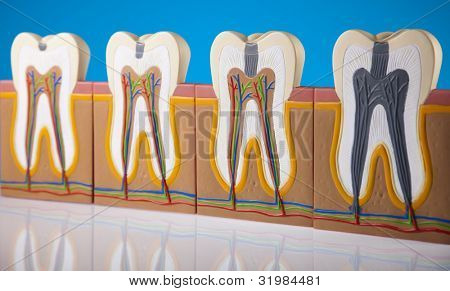 Anatomy of the tooth