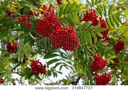 Ripe Rowan Berries On A Branch  Tree