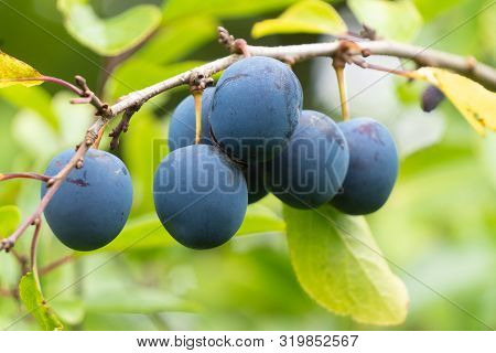 Group Of Ripe Plums On A Branch
