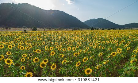 large sunflower fields, aquaculture and agricultural area poster