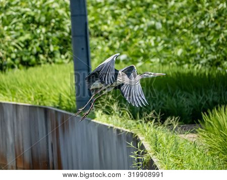 An Eastern Gray Heron, Ardea Cinerea Jouyi, Takes Off From An Irrigation Canal Beside The Saza River