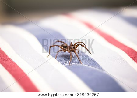 Brown Spider, Poisonous Arachnid Walking On The Furniture Of A House. Risk Concept, Danger Indoors,