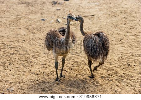 Full Body Of Two Youngest Child Grey Greater Rhea (rhea Americana). Photography Of Nature And Wildli