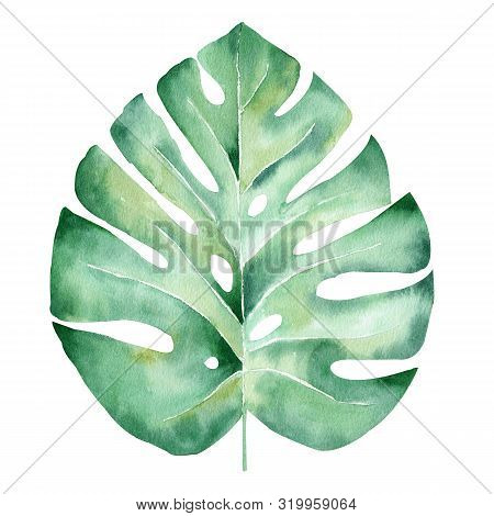 Monstera Leaf Hand Drawn Watercolor Raster Illustration. Jungle Tree Plant Isolated Clipart. Exotic