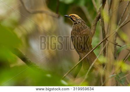Straw-headed Bulbul - Pycnonotus Zeylanicus Songbird In The Bulbul Family, Pycnonotidae, Found From