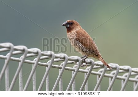 Scaly-breasted Munia Or Spotted Munia - Lonchura Punctulata, Known As Nutmeg Mannikin Or Spice Finch
