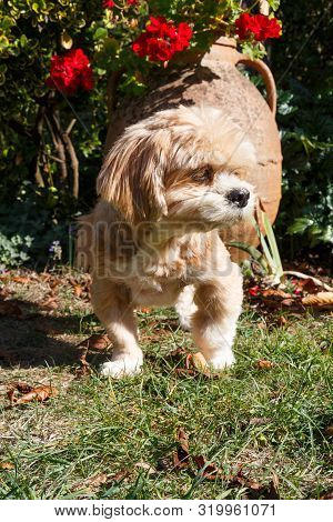 Lhasa Apso Dog In Front Of A Flowerpot In A Garden