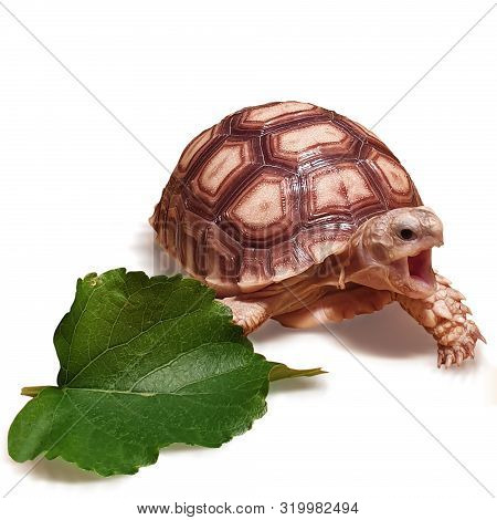 Little Tortoise Isolated, Close Up Baby Tortoise Hatching (african Spurred Tortoise), Birth Of New L