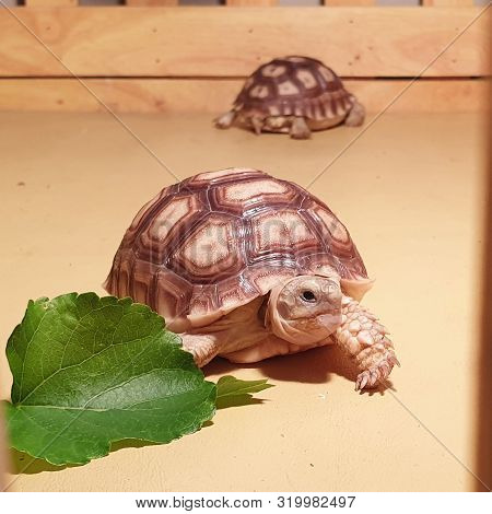 Little Turtle Reptile, Close Up Baby Tortoise Hatching (african Spurred Tortoise), Birth Of New Life