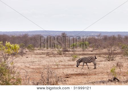 Zebra walking through the bushes in Africa poster