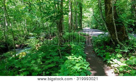 Oirase Stream In Sunny Day, Beautiful Nature Scene In Summer. Flowing River, Green Leaves, Mossy Roc