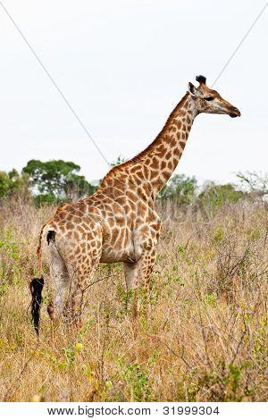 Giraffe Standing In An African Landscape
