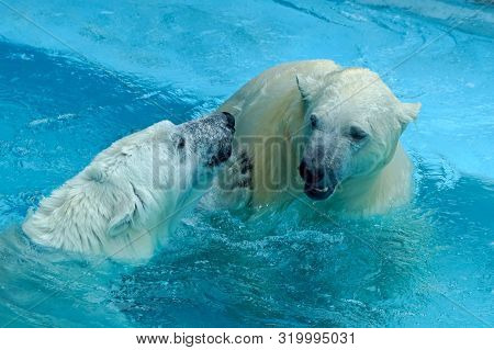 Sibling wrestling in baby games. Two polar bear cubs are playing about in pool. Cute and cuddly animal kids, which are going to be the most dangerous beasts of the world. poster