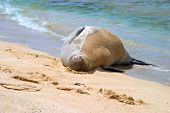 Hawaiian monk seal resting on the shore of a tropical sandy beach poster