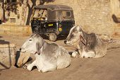 Symbols of India - cows in the street and an auto rickshaw. Jaisalmer Rajasthan poster