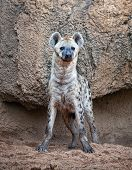 A spotted hyena, warily watching to camera poster