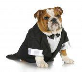 english bulldog wearing black tuxedo and tails on white background poster