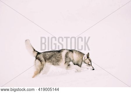 Young Husky Dog Sniffing Outdoor In Snow, Snowdrift. Pet Play In Winter Day.