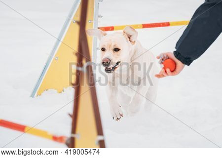 White Labrador Dog Playing Outside In Snow, Winter Season. Dog Jumping Through Barrier In Snow Durin