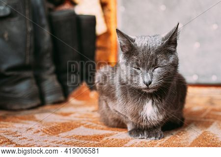 Russian Blue Cat Kitten With Green Eyes Resting On Porch Of An Old Village Rustic House. Russian Blu
