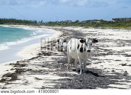 Farm Animals Walking Freely On Grand Turk Island Wild Beach Covered With Algae (turks And Caicos Isl