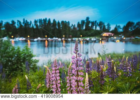 Wild Flowers Lupine In Summer Meadow Near Lake At Evening Night. Lupinus, Commonly Known As Lupin Or