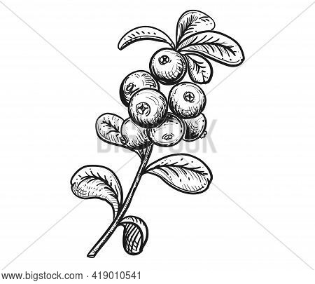 Hand Drawn Sketch Black And White Cranberry Branch, Fruit, Leaf. Vector Illustration. Elements In Gr