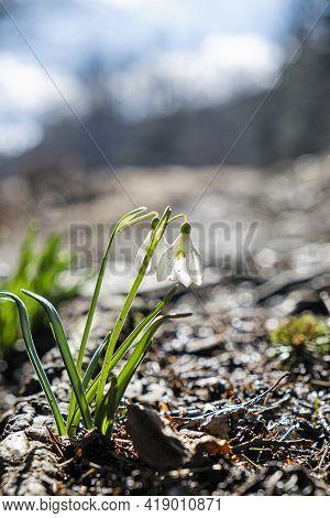 Detail Photo Of White Snowdrops, Lysec Hill, Slovak Republic. Spring Time Scene.