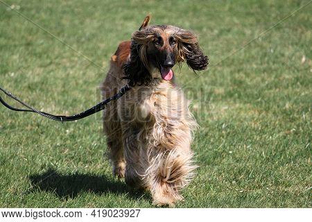Afghan Greyhound Is Walking On A Leash