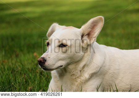 Close Up Head Portrait Of A Mixed Breeded Dog In The Garden