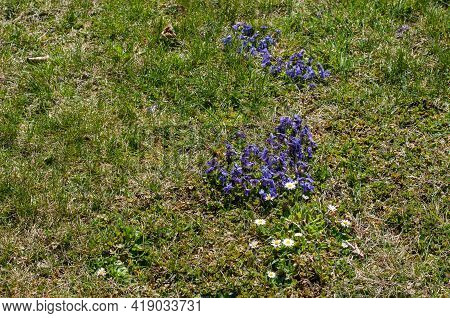 Groups Of Flowering Daisies And Violets In An Uncultivated Meadow In Springtime
