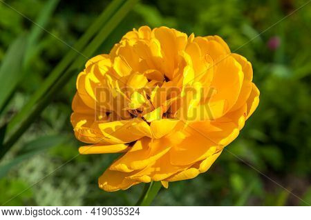 Russia. May 16, 2019. With The Onset Of Warm Spring Days, A Yellow Double Tulip Bloomed In A City Fl