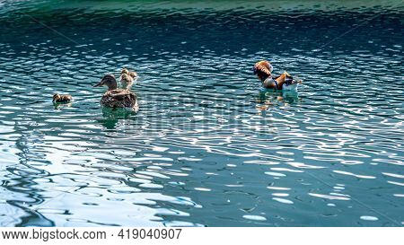 Family Of Mandarin Ducks With Ducklings Swimming In Water In Sunny Day. Aix Galericulata. Lake Genev