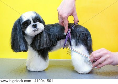 Groomer Working In Salon, Making Haircut At Pet Salon. Comb And Scissors