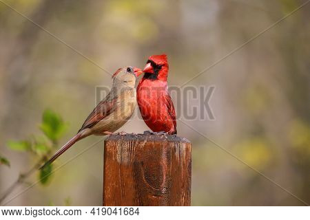 Lovely Cardinals Feed Each Other In Spring